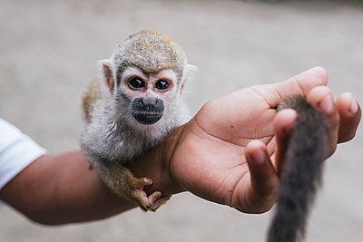 Capuchin monkey on hand at Misahualli, Ecuador - p300m2240212 by MORNINGVIEW AGENCY