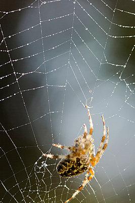 Cross spider - p739m933204 by Baertels