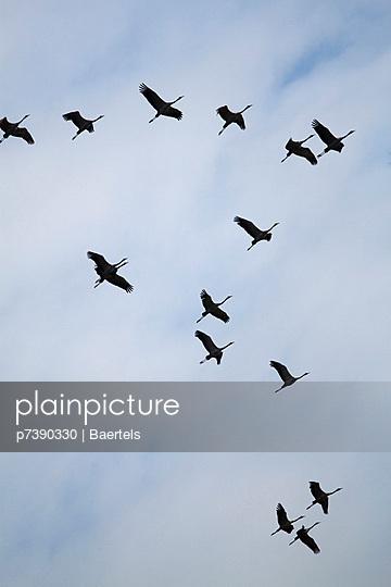 Vogelzug der Kraniche - p7390330 von Baertels