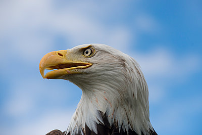 Bald eagle - p973m1496193 by Jennifer Rumbach
