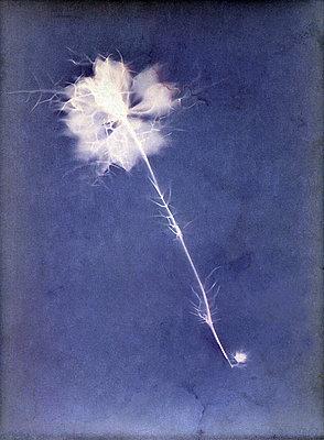 Gepresste Blume - p945m2163783 von aurelia frey