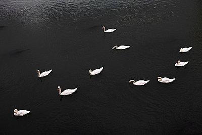 Schwäne im Fluss von oben - p4150385 von Tanja Luther