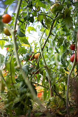 Tomato plants - p445m2205565 by Marie Docher