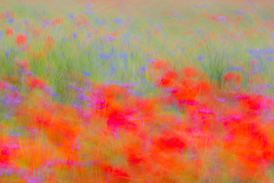 Field with corn poppies - p739m1119421 by Baertels