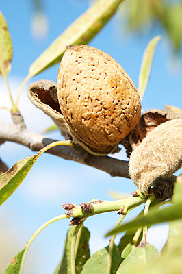 Ripe almonds - p8850005 by Oliver Brenneisen