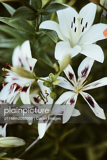 White lilium in bloom in sunset light. - p1166m2088059 by Cavan Images