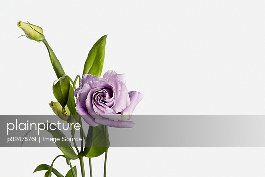 Eustoma - p9247576f by Image Source