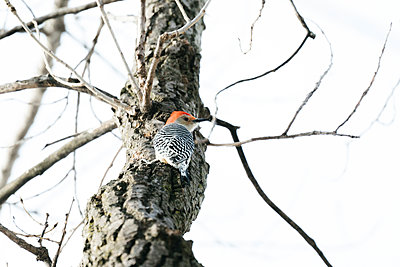 View from below of a Red-Bellied Woodpecker on a tree - p1166m2093832 by Cavan Images