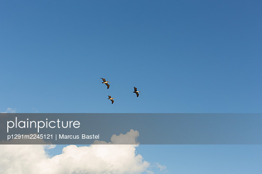 Three pelicans against blue sky - p1291m2245121 by Marcus Bastel