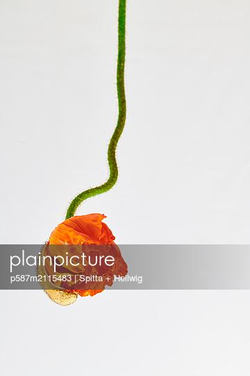 Single poppy blossom - p587m2115483 by Spitta + Hellwig