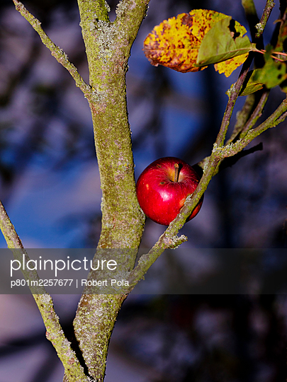 Red apple in a tree - p801m2257677 by Robert Pola