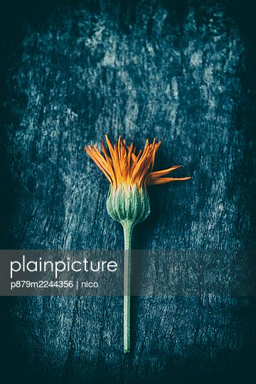 Whitered Marigold flower - p879m2244356 by nico