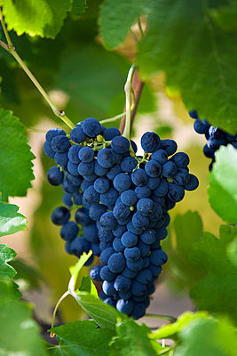 Australia, Western Australia, Swan Valley, Guildford.  Shiraz grapes in Swan Valley vineyard.  The Swan Valley is Western Australia's oldest wine region, a short drive from Perth - p6521280 by Andrew Watson
