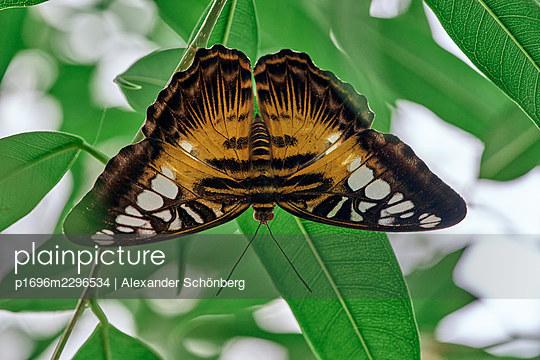 Butterfly - p1696m2296534 by Alexander Schönberg