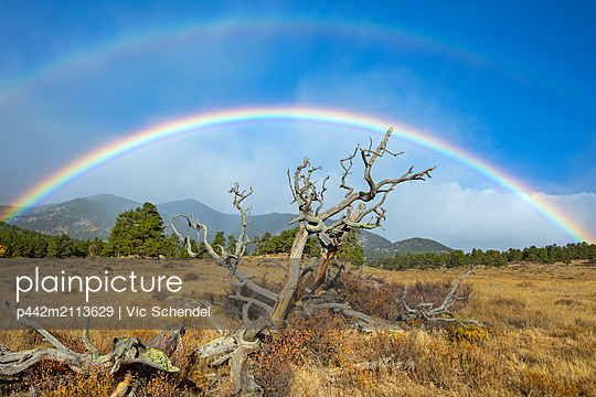 Dead tree in a field in the foreground and a rainbow in the distance; Denver, Colorado, United States of America - p442m2113629 by Vic Schendel