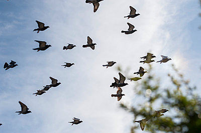 Flock of racing pigeons in flight - p1047m1044428 by Sally Mundy