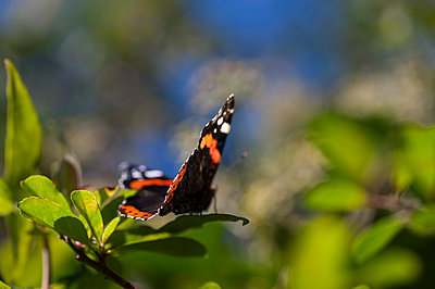Red Admiral butterfly on a pyracanthus bush - p1047m1480730 by Sally Mundy