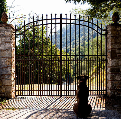 A dog sitting by a gate Tuscany Italy. - p31219144 by Andreas Kindler