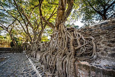 Fig trees on the enclosure wall of Fasilides Bath; Gondar, Amhara Region, Ethiopia - p442m2113963 by Peter Langer