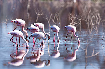 Flamingoes at Lake Nakuru - p533m1003303 by Böhm Monika