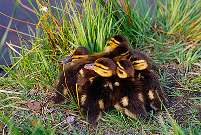 ducklings sitting in grass by lake - p8474508 by Bengt Olof Olsson