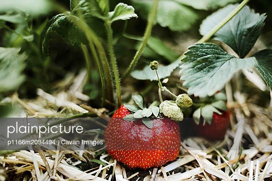 Close-up of strawberry growing on plant - p1166m2094494 by Cavan Images