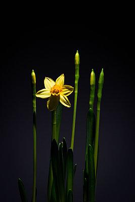 Daffodils - p1149m1208336 by Yvonne Röder
