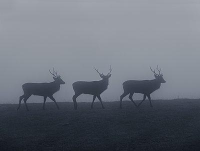 Deers in fog - p248m739481 by BY
