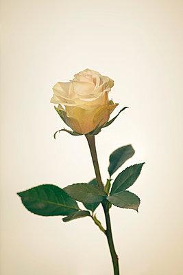 Rose - p3300315 von Harald Braun