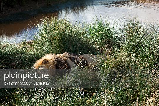 Schlafender Löwe am Ufer - p712m1159983 von Jana Kay