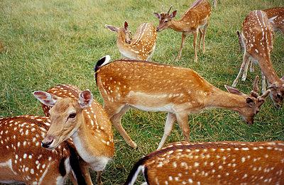 Deers - p0190228 by Hartmut Gerbsch