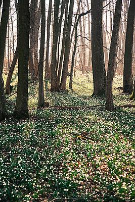 Märzenbecherwald - p1038m931522 von BlueHouseProject