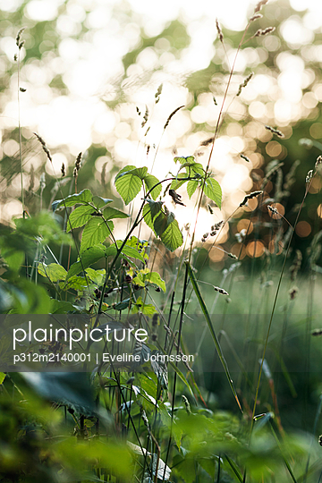 Grass and blackberry plant - p312m2140001 by Eveline Johnsson
