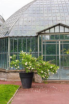 Gewächshaus und ein Rosenstrauch - p954m1585899 von Heidi Mayer