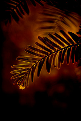 Dawn redwood leaves with raindrop (Metasequoia glyptostroboides)  - p1028m2215975 by Jean Marmeisse