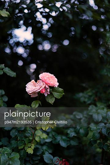 Two roses against bush - p947m2193535 by Cristopher Civitillo