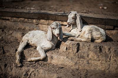 Kid goat - p1007m1060035 by Tilby Vattard