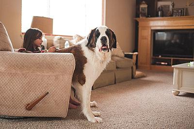 Saint Bernard by girl sitting on sofa at home - p1166m1414639 by Cavan Images
