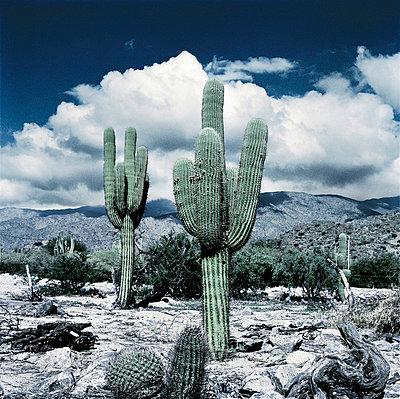 Cactus - p56710140 by daniel belet