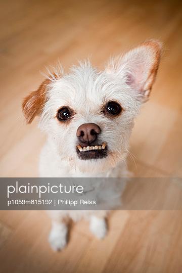 White dog - p1059m815192 by Philipp Reiss