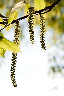 Blütentriebe eines Walnussbaumes - p533m2044330 von Böhm Monika