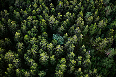 Tree tops in spruce forest - p5753606 by Roine Magnusson
