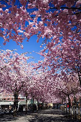 Cherry-trees in Kungstradgarden Stockholm Sweden. - p31222055f by Plattform