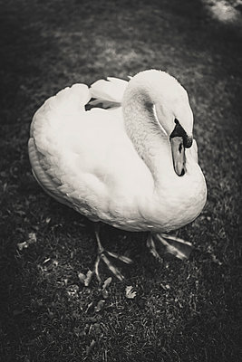 Swan - p1150m1083567 by Elise Ortiou Campion