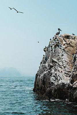 A pelican standing on guano covered rock,Islas Ballestas,Paracas,Peru - p1166m2095812 by Cavan Images