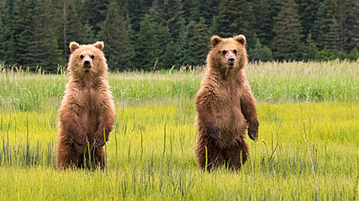 Young bears on meadow - p312m2051469 by Lars-Olof Johansson