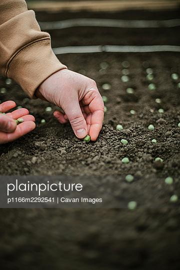 Gardener sowing seeds in a vegetable bed - p1166m2292541 by Cavan Images