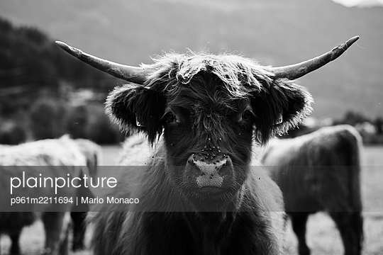 Highland cattle - p961m2211694 by Mario Monaco