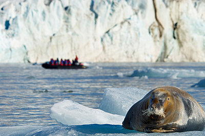 A large bearded seal on the ice, and a zodiac inflatable boat full of passengers on the water.  - p1100m923401f by David Schultz
