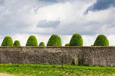 Formschnitt hinter Mauer - p248m933289 von BY